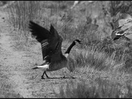Canada Goose - geese can leave droppings, and harass pets and people!